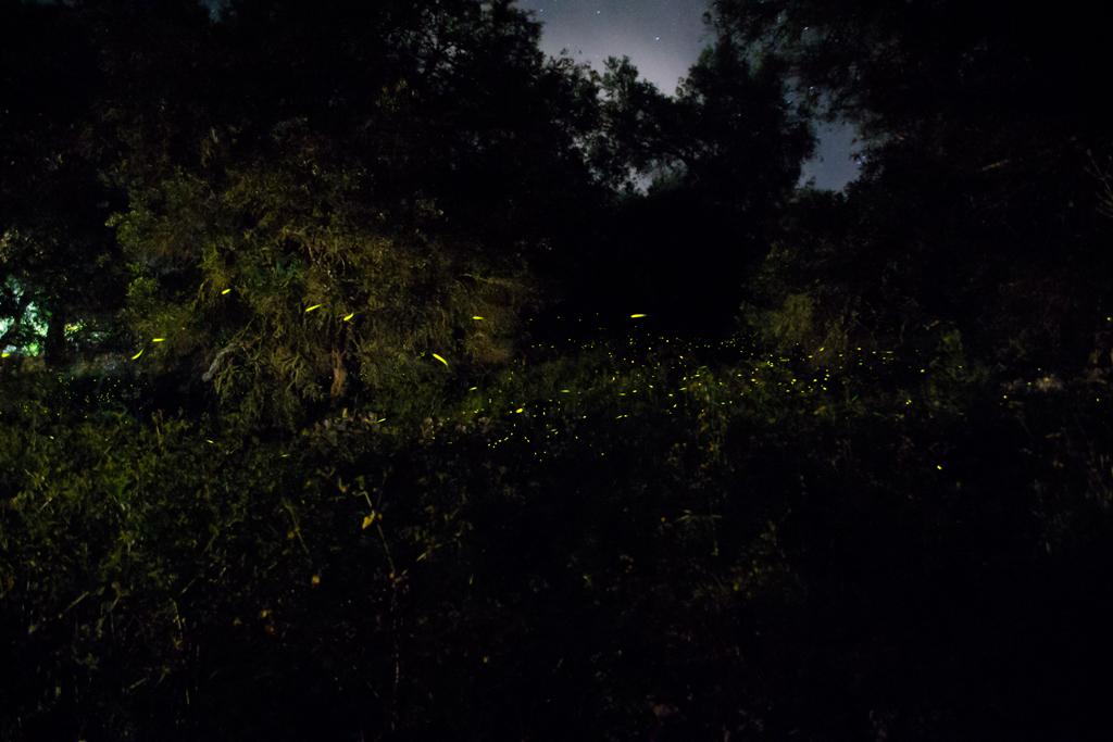 fireflies (3)